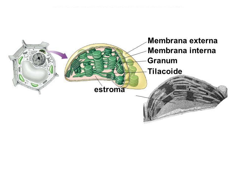 Membrana externa Membrana interna Granum Tilacoide estroma