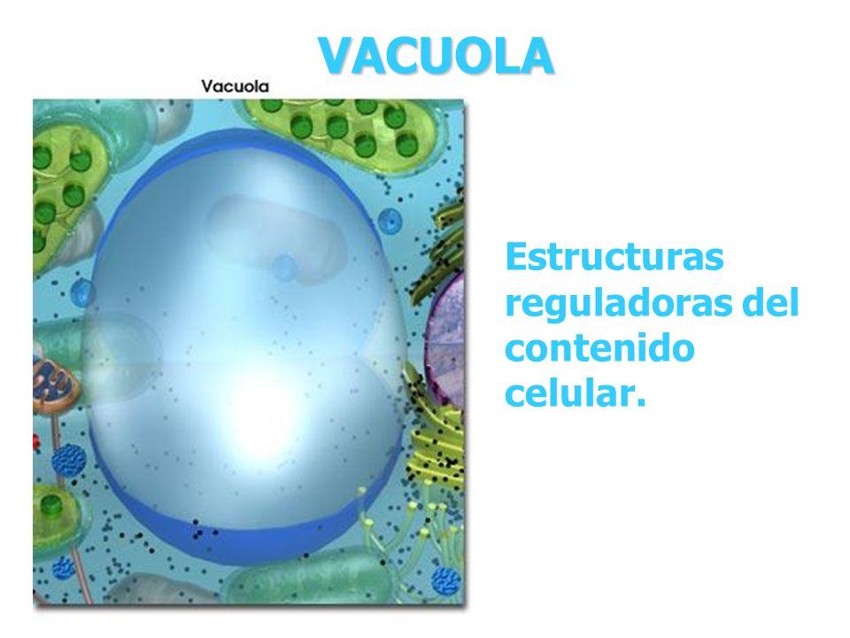VACUOLA Estructuras reguladoras del contenido celular.