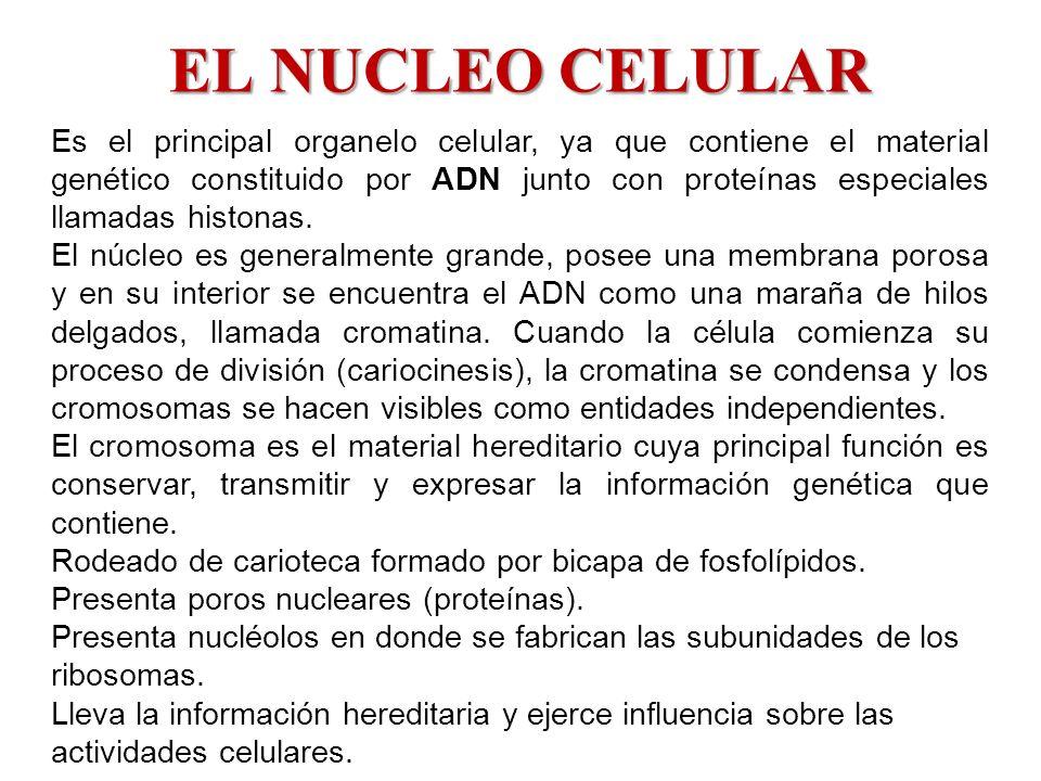 Es el principal organelo celular, ya que contiene el material genético constituido por ADN junto con proteínas especiales llamadas histonas. El núcleo