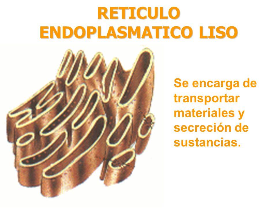 RETICULO ENDOPLASMATICO LISO Se encarga de transportar materiales y secreción de sustancias.