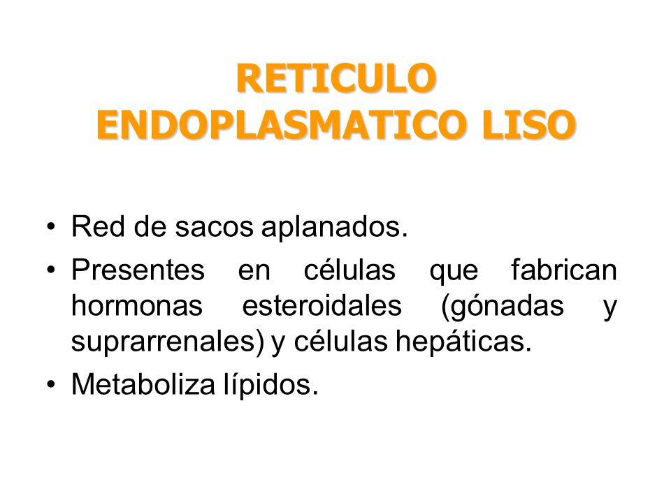 Red de sacos aplanados. Presentes en células que fabrican hormonas esteroidales (gónadas y suprarrenales) y células hepáticas. Metaboliza lípidos. RET