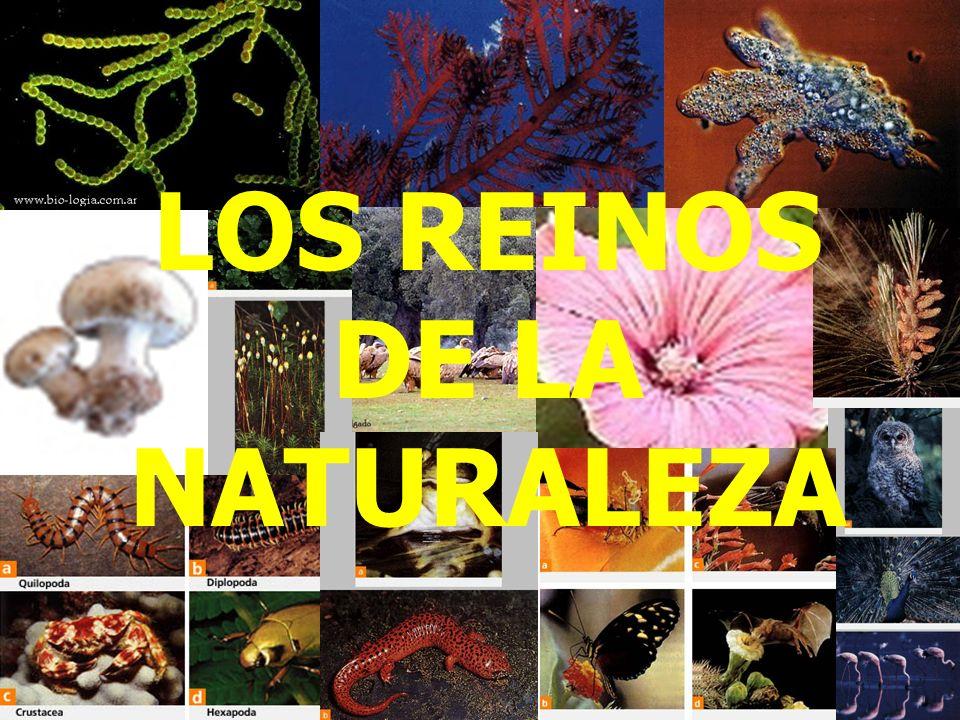ALGAS PARDAS Fotografía del alga parda, División Feofita, del género Laminaria