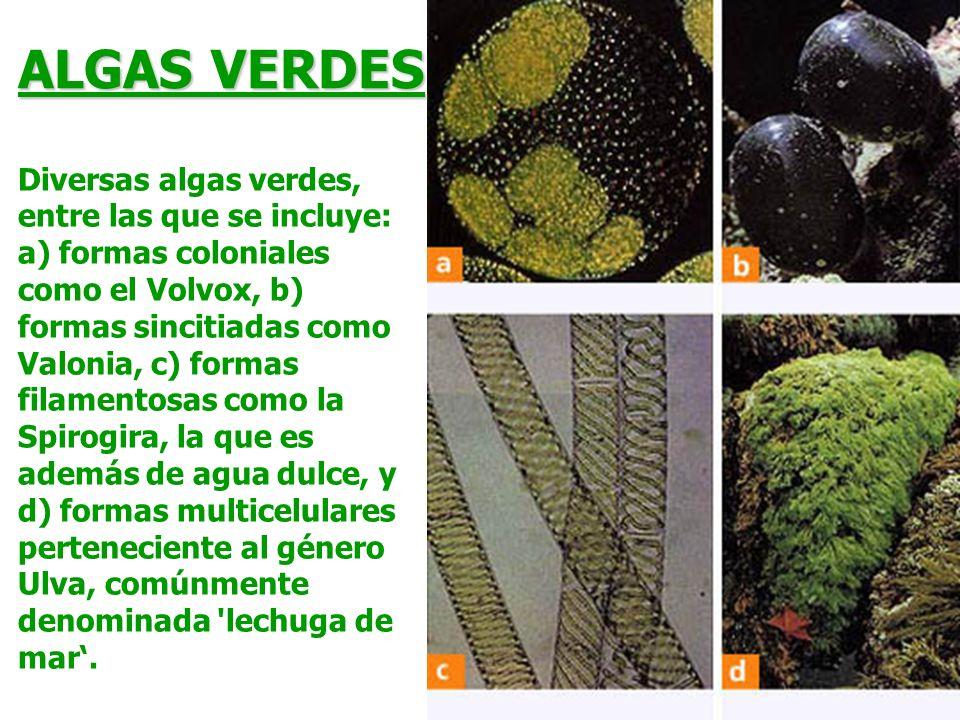 Diversas algas verdes, entre las que se incluye: a) formas coloniales como el Volvox, b) formas sincitiadas como Valonia, c) formas filamentosas como