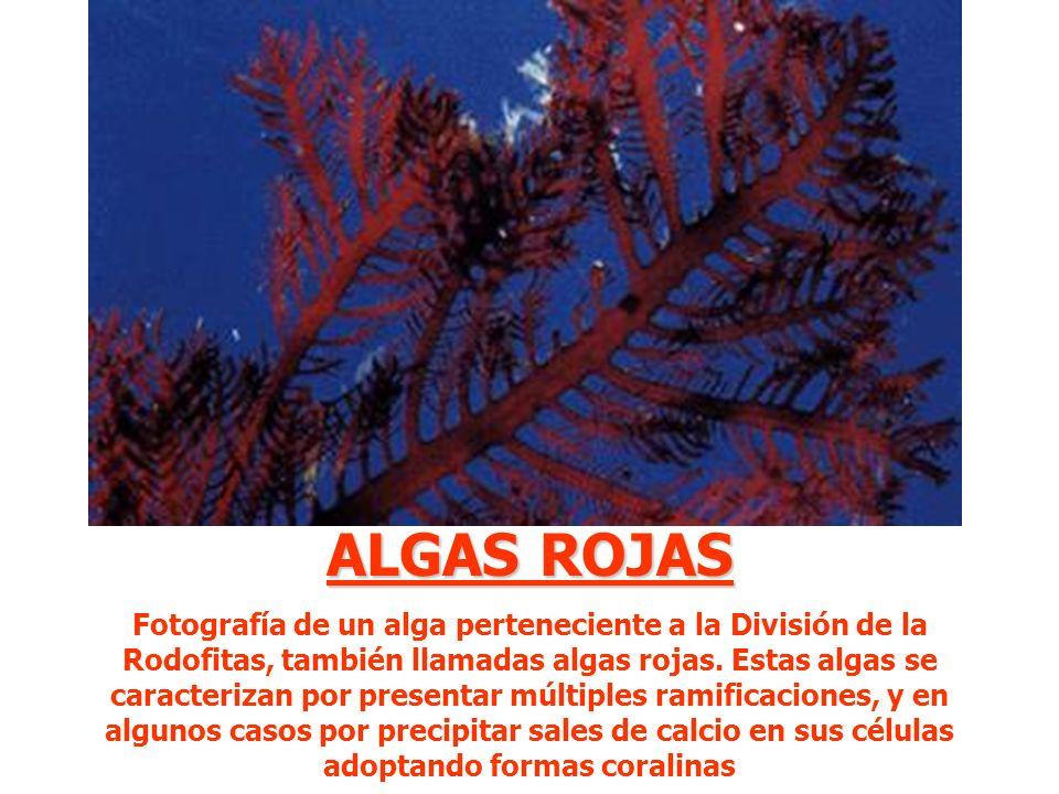 ALGAS ROJAS Fotografía de un alga perteneciente a la División de la Rodofitas, también llamadas algas rojas. Estas algas se caracterizan por presentar