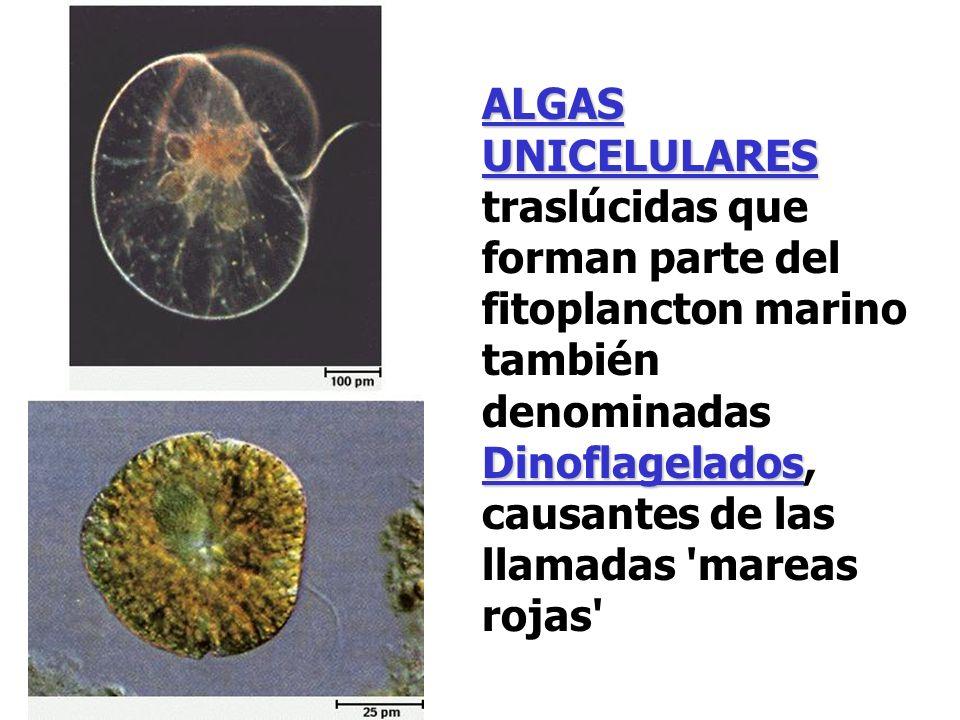 ALGAS UNICELULARES Dinoflagelados ALGAS UNICELULARES traslúcidas que forman parte del fitoplancton marino también denominadas Dinoflagelados, causante