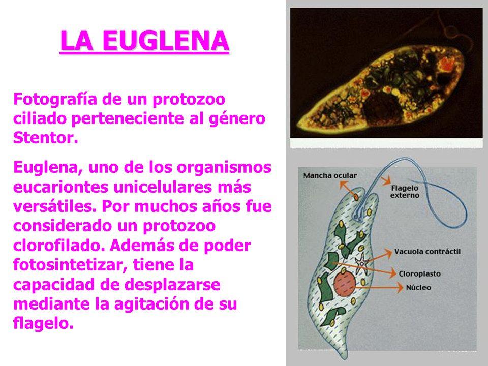 Fotografía de un protozoo ciliado perteneciente al género Stentor. Euglena, uno de los organismos eucariontes unicelulares más versátiles. Por muchos