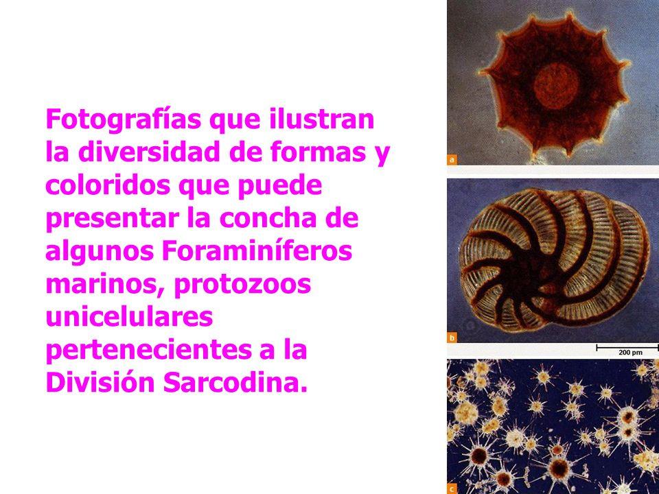 Fotografías que ilustran la diversidad de formas y coloridos que puede presentar la concha de algunos Foraminíferos marinos, protozoos unicelulares pe
