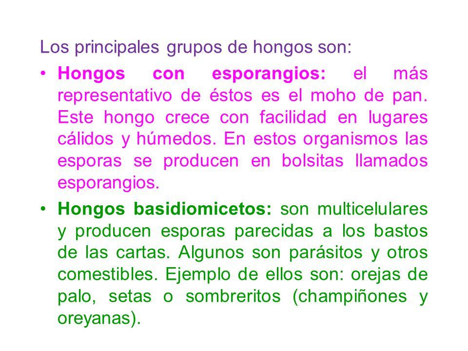 Los principales grupos de hongos son: Hongos con esporangios: el más representativo de éstos es el moho de pan. Este hongo crece con facilidad en luga