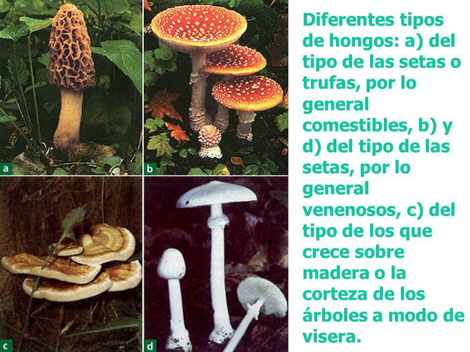 Diferentes tipos de hongos: a) del tipo de las setas o trufas, por lo general comestibles, b) y d) del tipo de las setas, por lo general venenosos, c)