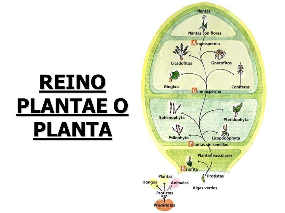 REINO PLANTAE O PLANTA