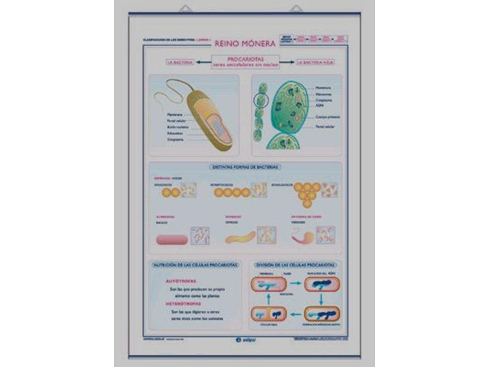 REINO MONERA A este reino pertenecen los organismos conocidos como las bacterias.