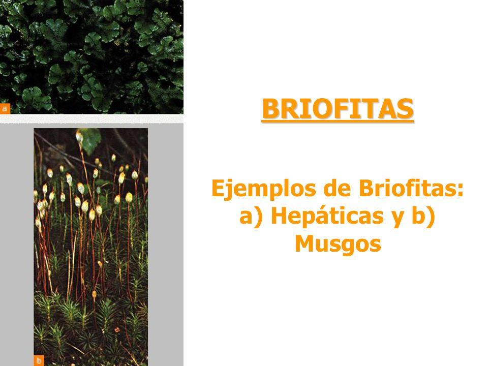 Ejemplos de Briofitas: a) Hepáticas y b) Musgos BRIOFITAS