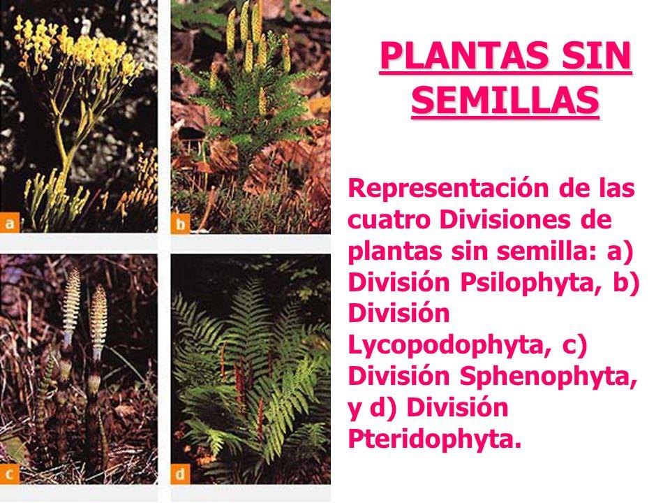 Representación de las cuatro Divisiones de plantas sin semilla: a) División Psilophyta, b) División Lycopodophyta, c) División Sphenophyta, y d) Divis