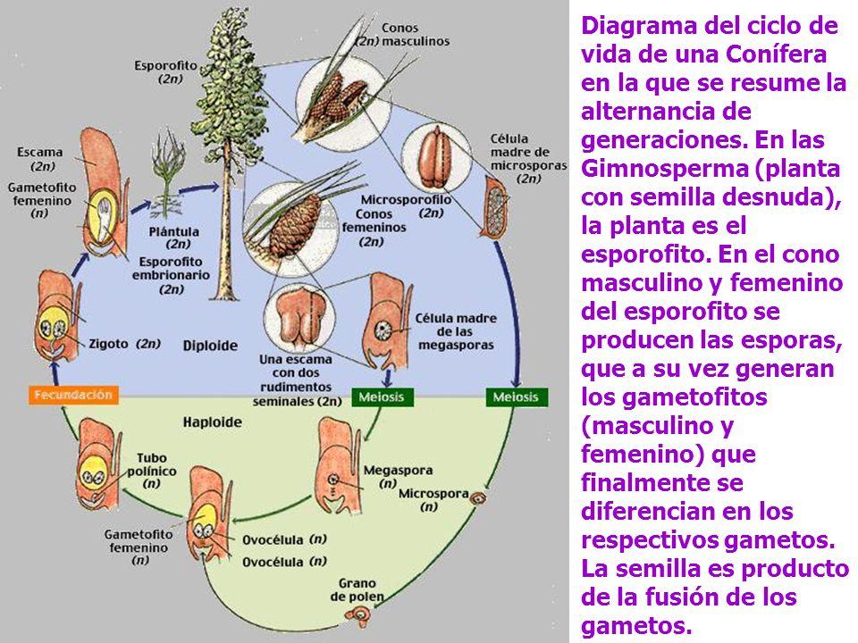 Diagrama del ciclo de vida de una Conífera en la que se resume la alternancia de generaciones. En las Gimnosperma (planta con semilla desnuda), la pla