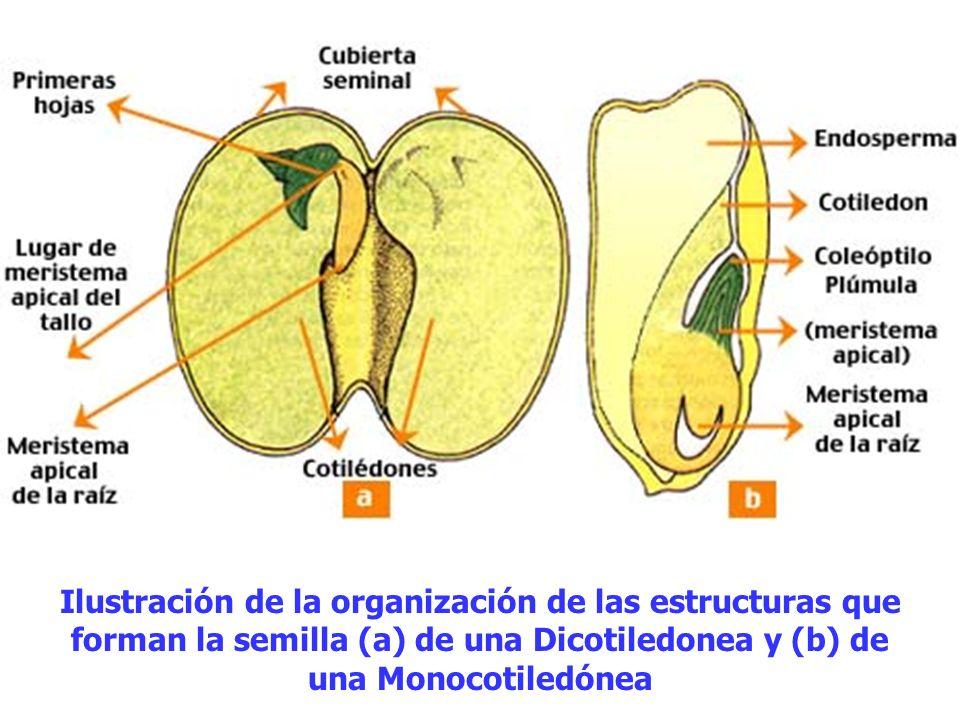 Ilustración de la organización de las estructuras que forman la semilla (a) de una Dicotiledonea y (b) de una Monocotiledónea
