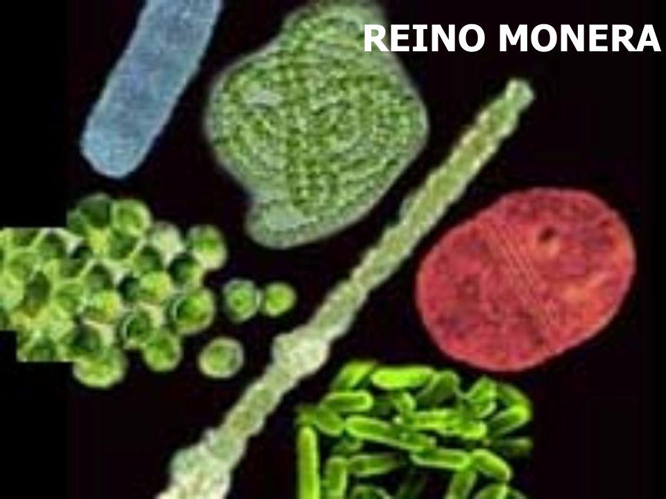 Protozoo unicelular perteneciente a la División Sarcodina LA AMEBA (rizopodos)