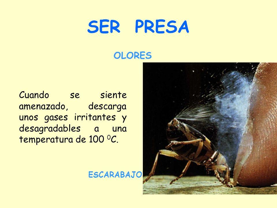 SER PRESA Cuando se siente amenazado, descarga unos gases irritantes y desagradables a una temperatura de 100 0 C.