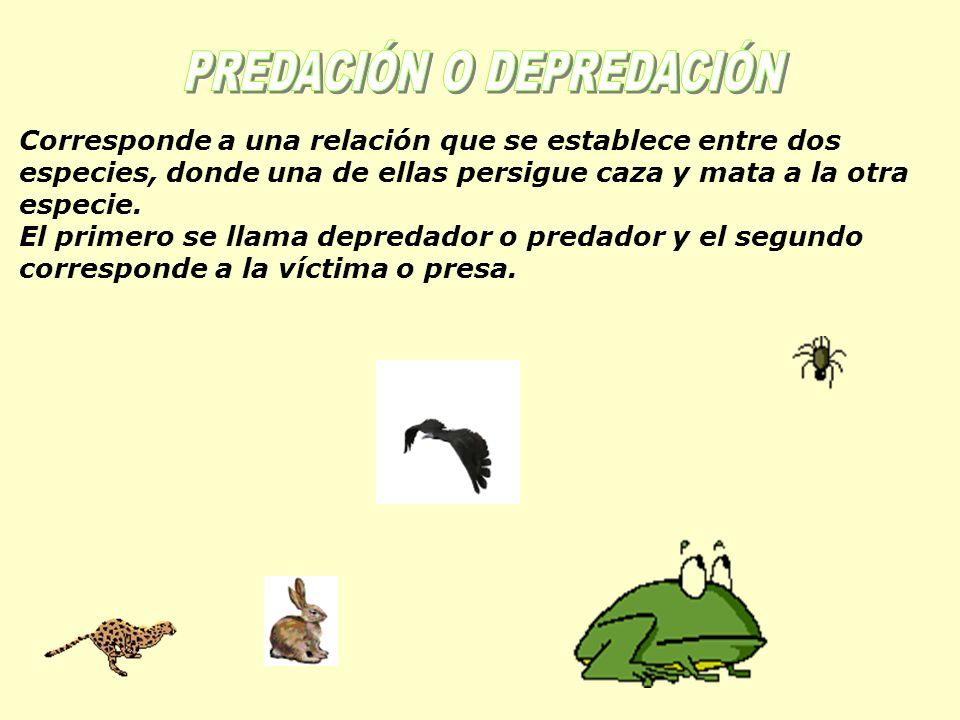 Corresponde a una relación que se establece entre dos especies, donde una de ellas persigue caza y mata a la otra especie.