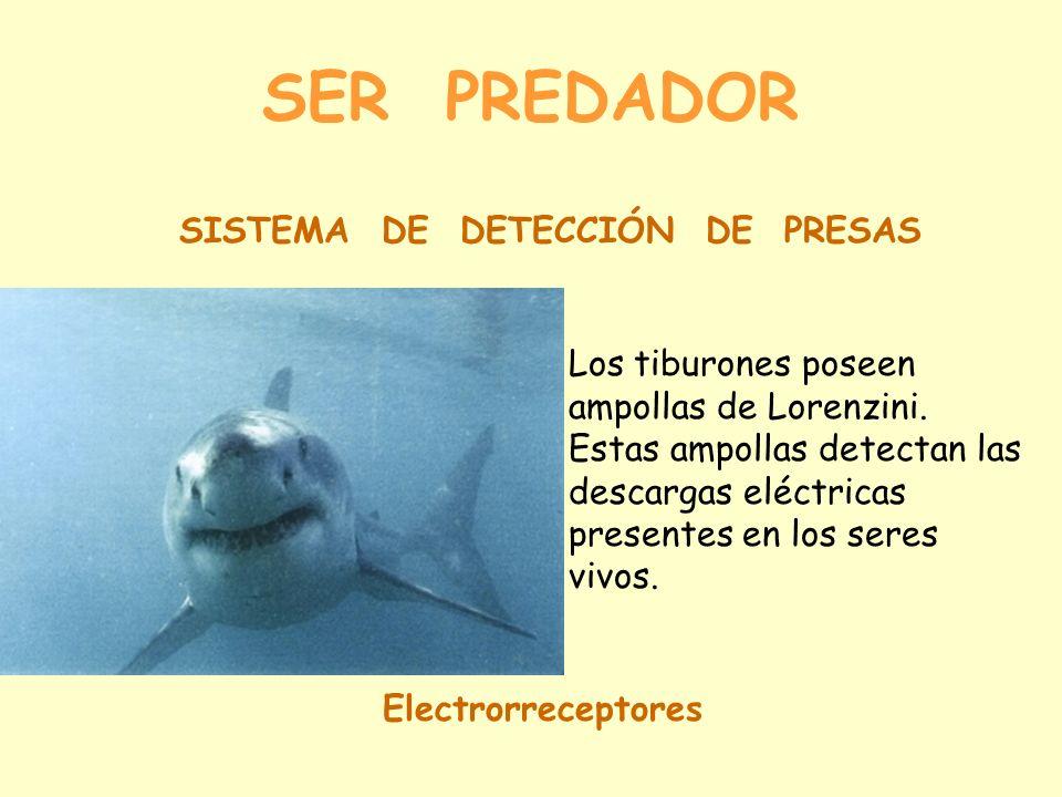 SER PREDADOR SISTEMA DE DETECCIÓN DE PRESAS Electrorreceptores Los tiburones poseen ampollas de Lorenzini.