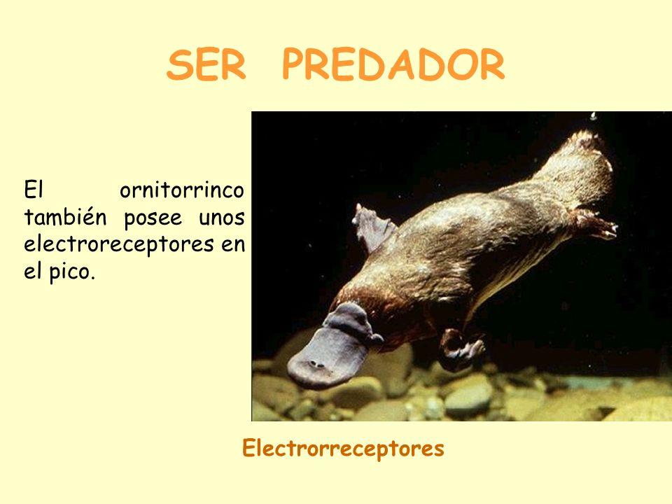 SER PREDADOR SISTEMA DE DETECCIÓN DE PRESAS Electrorreceptores Los tiburones poseen ampollas de Lorenzini. Estas ampollas detectan las descargas eléct
