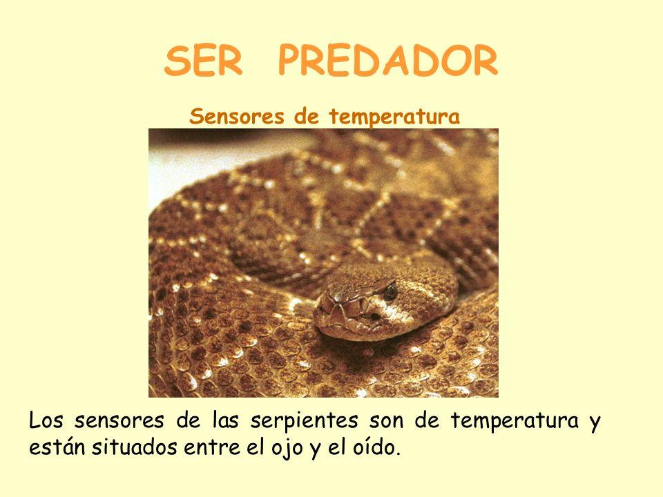 SER PREDADOR Sensores de temperatura Los sensores de las serpientes son de temperatura y están situados entre el ojo y el oído.