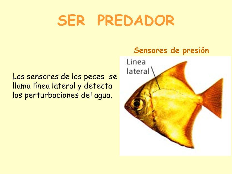 SER PREDADOR Sensores de presión Los sensores de los peces se llama línea lateral y detecta las perturbaciones del agua.