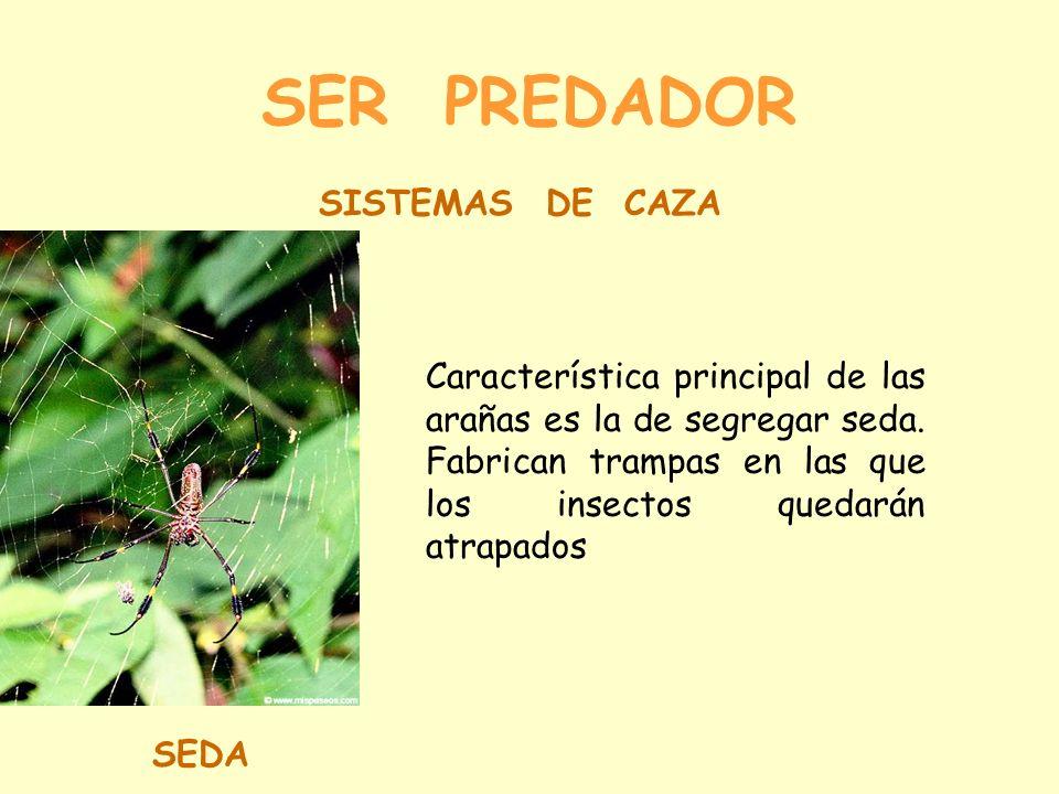 SER PREDADOR SISTEMAS DE CAZA SEDA Característica principal de las arañas es la de segregar seda.