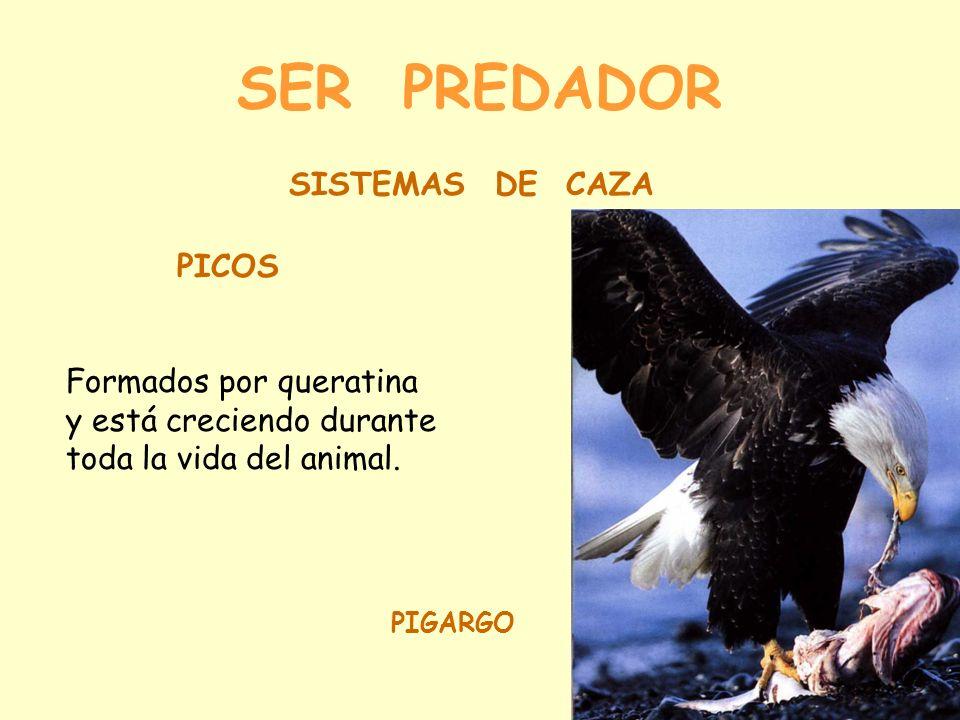 SER PREDADOR PICOS Formados por queratina y está creciendo durante toda la vida del animal.
