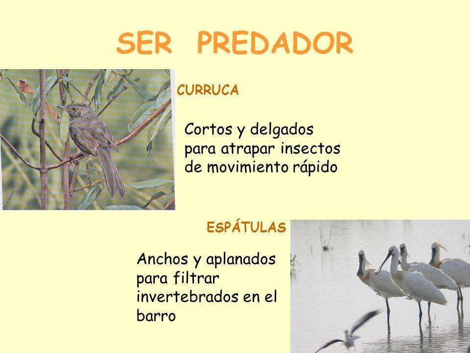 SER PREDADOR Cortos y delgados para atrapar insectos de movimiento rápido CURRUCA ESPÁTULAS Anchos y aplanados para filtrar invertebrados en el barro