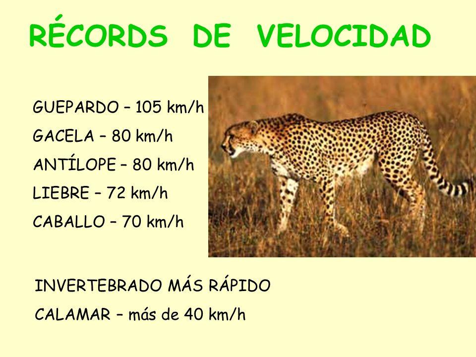 RÉCORDS DE VELOCIDAD GUEPARDO – 105 km/h GACELA – 80 km/h ANTÍLOPE – 80 km/h LIEBRE – 72 km/h CABALLO – 70 km/h INVERTEBRADO MÁS RÁPIDO CALAMAR – más de 40 km/h