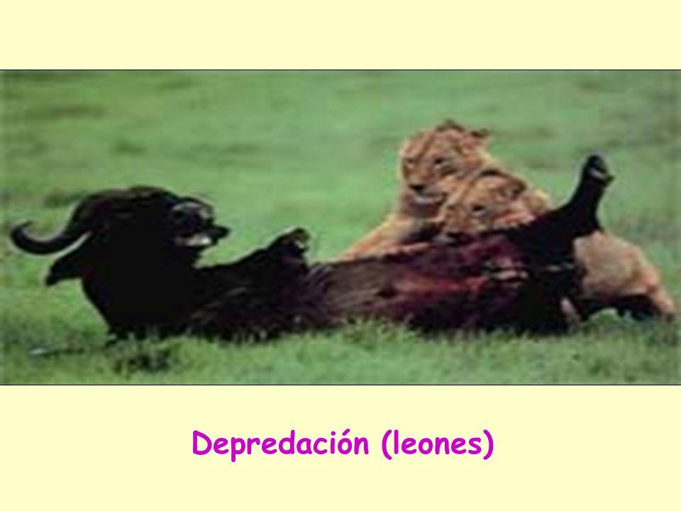 DEPREDACION Se da cuando una población vive a costa de cazar y devorar a la otra (presas). En el funcionamiento de la naturaleza resulta beneficiosa p