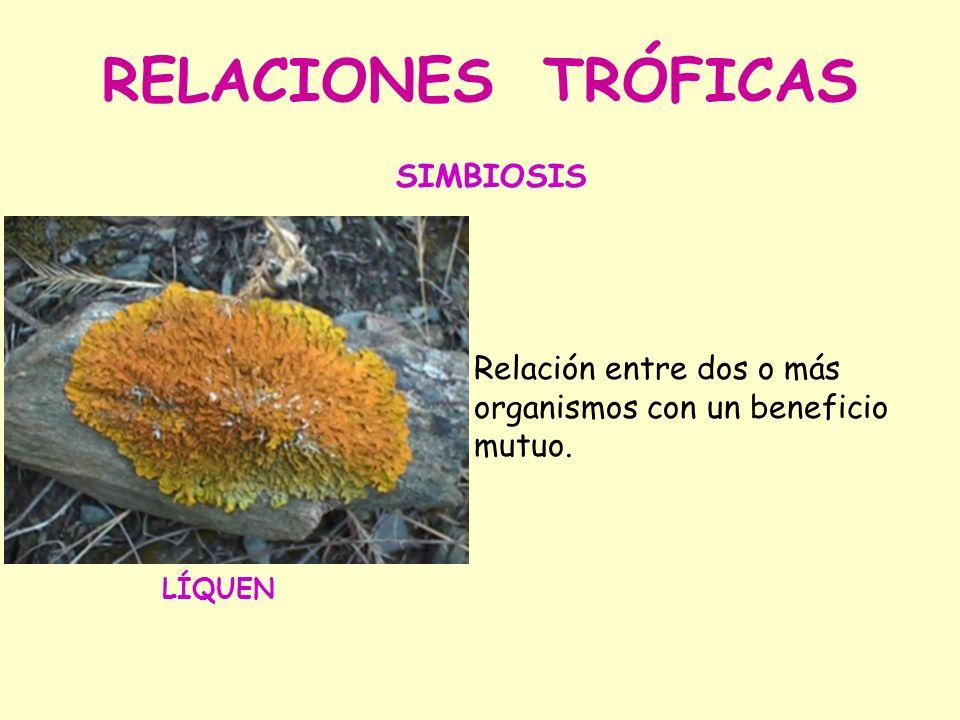 RELACIONES TRÓFICAS Relación entre dos o más organismos con un beneficio mutuo. SIMBIOSIS LÍQUEN
