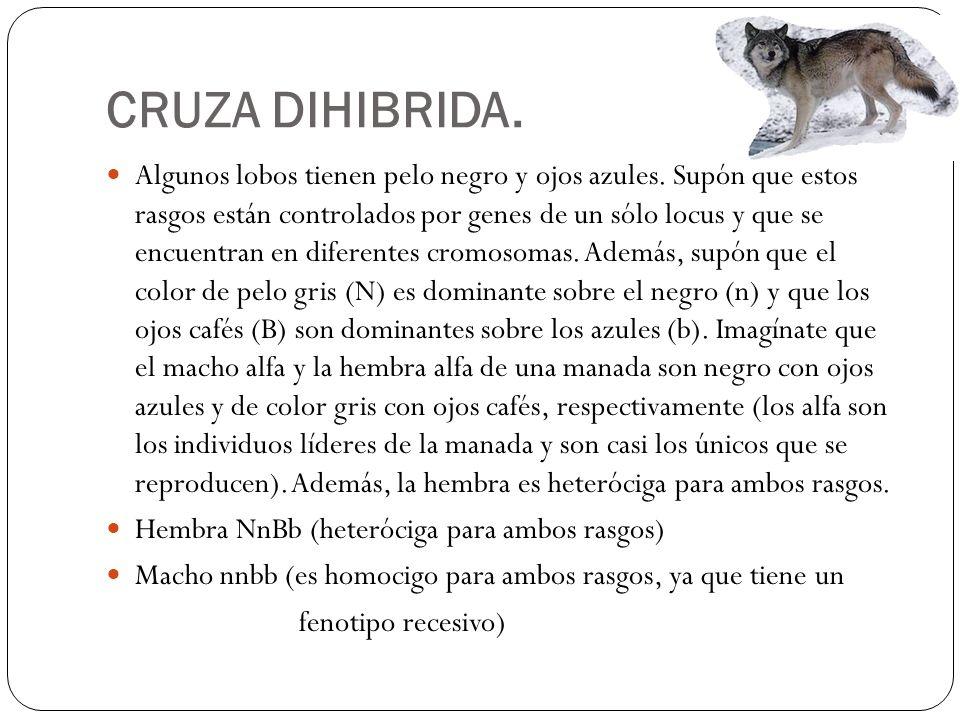 CRUZA DIHIBRIDA. Algunos lobos tienen pelo negro y ojos azules. Supón que estos rasgos están controlados por genes de un sólo locus y que se encuentra