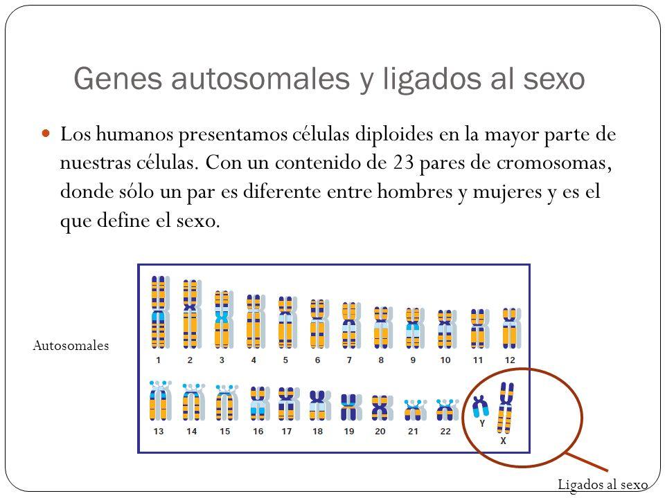 Genes autosomales y ligados al sexo Los humanos presentamos células diploides en la mayor parte de nuestras células. Con un contenido de 23 pares de c