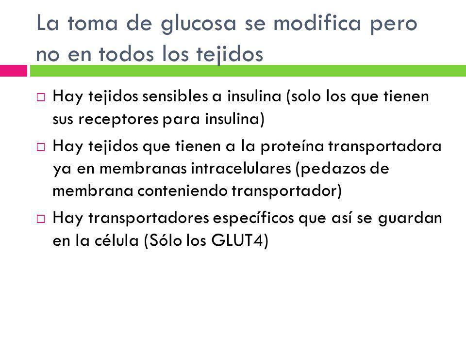 La toma de glucosa se modifica pero no en todos los tejidos Hay tejidos sensibles a insulina (solo los que tienen sus receptores para insulina) Hay te