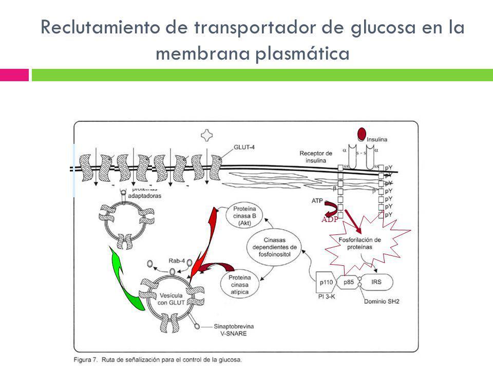 Reclutamiento de transportador de glucosa en la membrana plasmática ADP