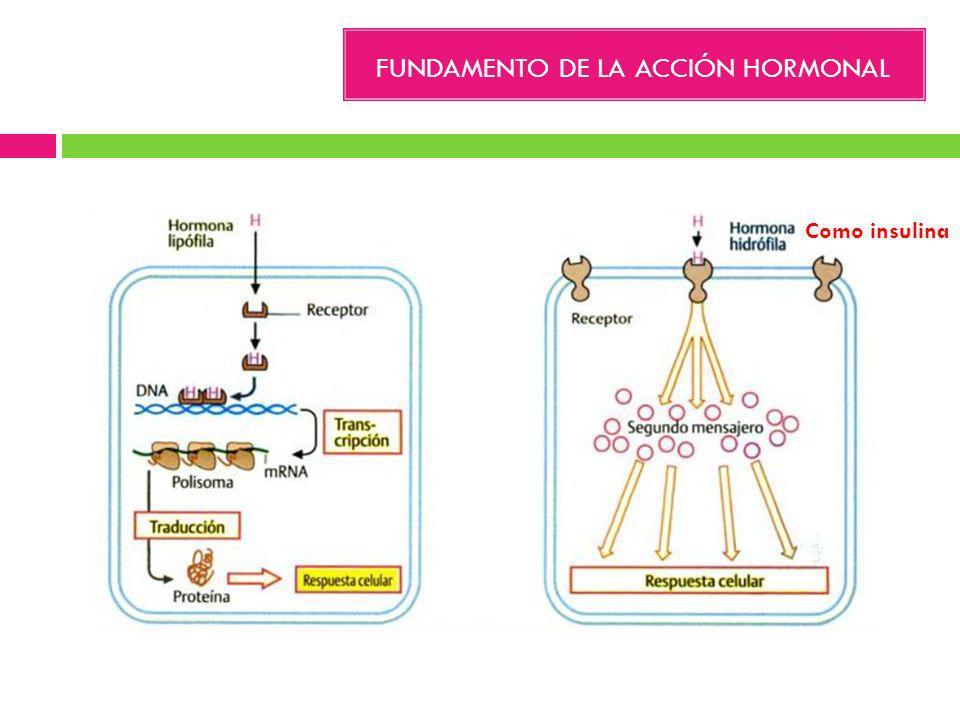 FUNDAMENTO DE LA ACCIÓN HORMONAL Como insulina