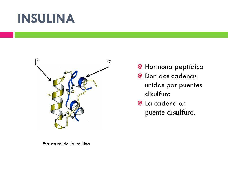 INSULINA Estructura de la insulina Hormona peptídica Don dos cadenas unidas por puentes disulfuro La cadena α: puente disulfuro. α β