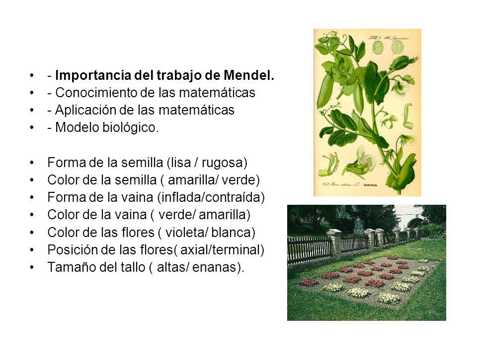 Gregor Mendel el Padre de la Genética Un monje austriaco desarrolló en 1865 los principios fundamentales de lo que hoy conocemos como genética. Gregor