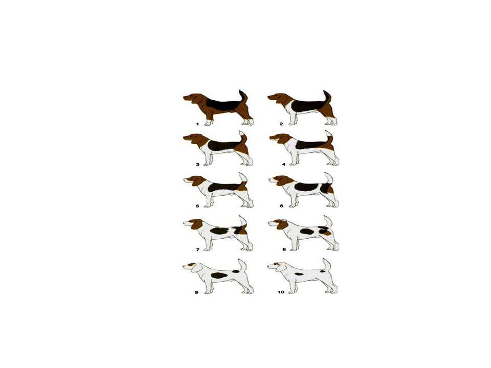 Por ejemplo, en la imagen siguiente se ve como puede modificarse el aspecto de los perros de la raza Beagle según se exprese más o menos el gen