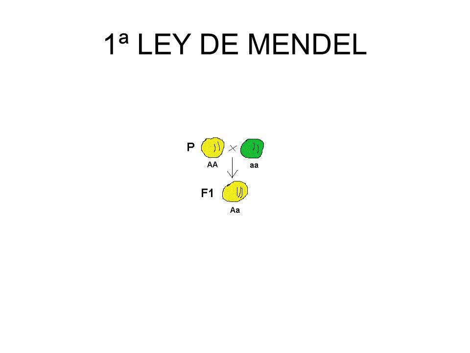 1ª Ley de Mendel Principio de