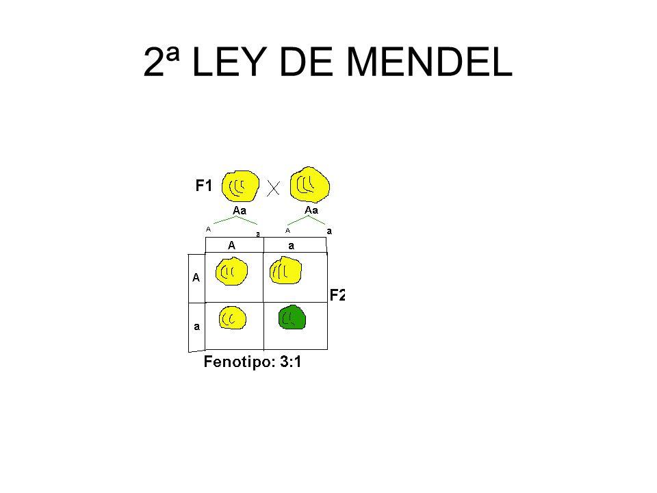 2ª LEY DE MENDEL ( SEGREGACIÓN ) En la formación de los gametos, los factores emparejados se separan (o segregan) al azar, de forma que cada gameto re