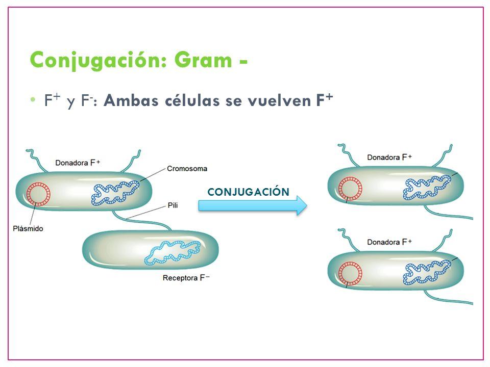 F + y F - : Ambas células se vuelven F + CONJUGACIÓN