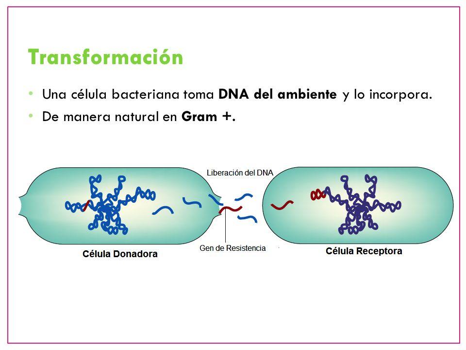 Involucra presencia de fagos, los cuáles transfieren el DNA de la célula donadora a la célula receptora, la cual puede incorporarlo a su cromosoma.