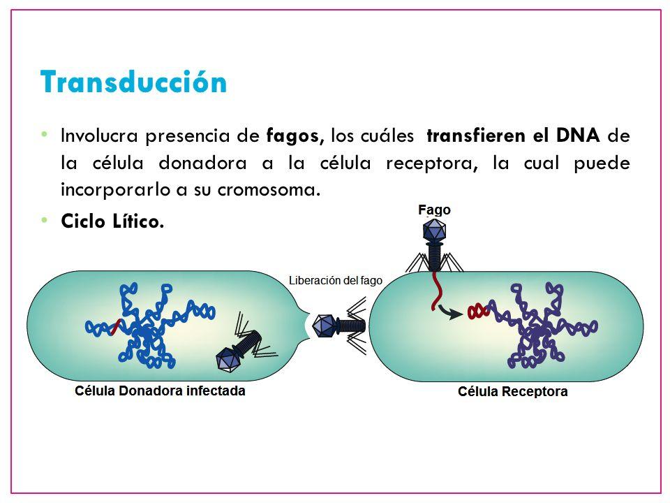 Involucra presencia de fagos, los cuáles transfieren el DNA de la célula donadora a la célula receptora, la cual puede incorporarlo a su cromosoma. Ci