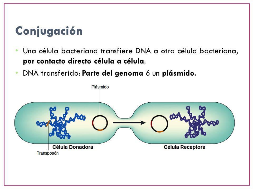 Una célula bacteriana transfiere DNA a otra célula bacteriana, por contacto directo célula a célula. DNA transferido: Parte del genoma ó un plásmido.