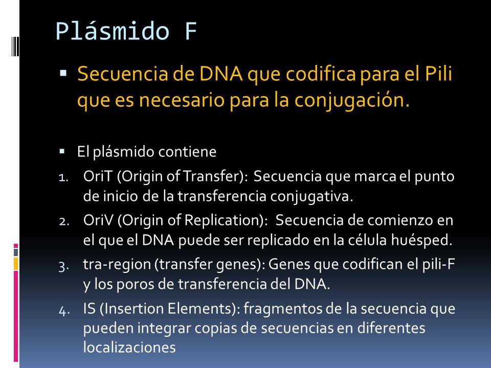 Plásmido F Secuencia de DNA que codifica para el Pili que es necesario para la conjugación. El plásmido contiene 1. OriT (Origin of Transfer): Secuenc