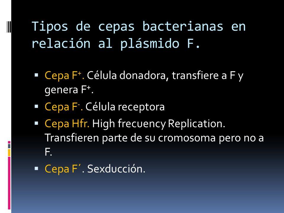 Tipos de cepas bacterianas en relación al plásmido F. Cepa F +. Célula donadora, transfiere a F y genera F +. Cepa F -. Célula receptora Cepa Hfr. Hig