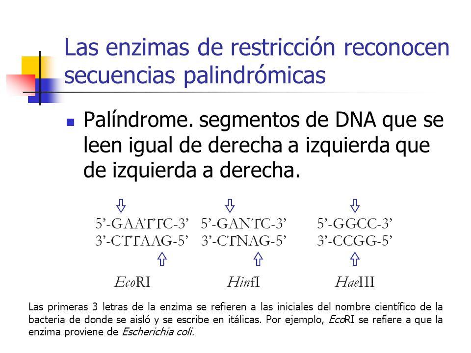 Las enzimas de restricción reconocen secuencias palindrómicas Palíndrome. segmentos de DNA que se leen igual de derecha a izquierda que de izquierda a
