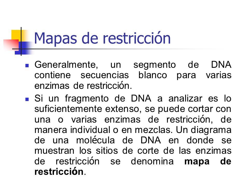 Mapas de restricción Generalmente, un segmento de DNA contiene secuencias blanco para varias enzimas de restricci ó n. Si un fragmento de DNA a analiz